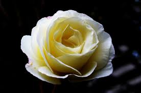 What Color Does Yellow Represent by What Does The Color Of Roses Mean Beads Of A Rose