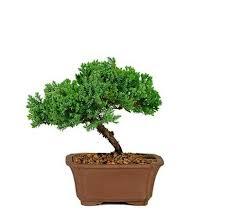 best 25 bonsai trees for sale ideas on bonsai for