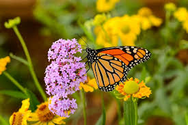 help rebuild monarch butterfly populations by planting monarch