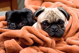 12 snuffly facts about pugs mental floss