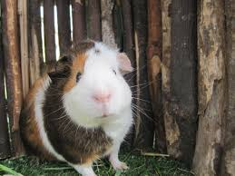 beatiful baby guinea pig 1 blue 1 brown eye sutton