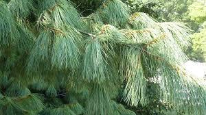 white pine tree white pine decline