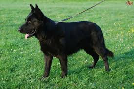 belgian shepherd epilepsy german shepherd dog breed information buying advice photos and