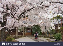 a cherry blossom tree in bloom with a letter carrier on a