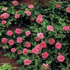 zephirine drouhin climbing rose at jackson u0026 perkins