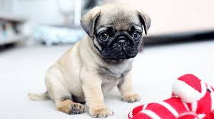 picking up my pug puppy youtube