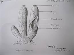 biology of animals sketch of scypha sp