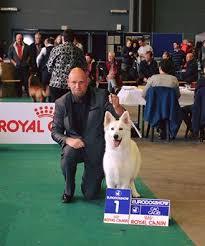 belgian shepherd kempsey trebons kennel berger blanc suisse news