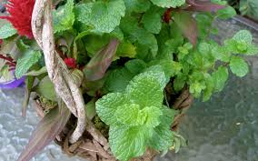 plants native to russia mosquito repellent plants you can grow in your atlanta garden