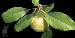 Best Fruit Trees For North Carolina - crabapples for deer how to pick a winner qdma