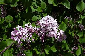 what is a lilac tree types of lilacs for the landscape
