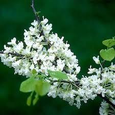 tree with white flowers whitebud