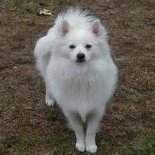 how big is american eskimo dog the miniature american eskimo dog is very sociable with its family