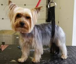 images of westie hair cuts yorkshire terrier haircuts creative dog grooming