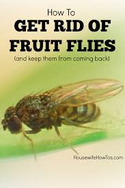 how to kill fruit flies and prevent them too housewife how to u0027s