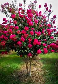 tonto crape myrtle plants gardens landscaping and
