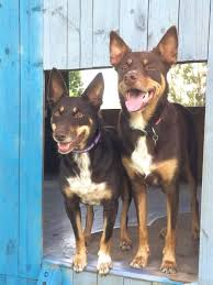 Bench Kelpie Puppies Sale 935 Best Images About Love Of Animals On Pinterest