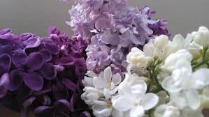 lilac flowers u2013 an edible and medicinal treat feral botanicals