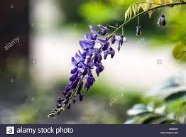 wisteria sinensis australian bush flower wisteria flowers stone wall stock photos u0026 wisteria flowers stone