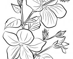 hibiscus flower coloring page hibiscus flower coloring page bible