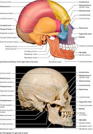 What Is Human Anatomy And Physiology 1 Part 1 The Axial Skeleton 7 1 The Skull Consists Of 8 Cranial