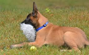 belgian sheepdog crossword rings u0027 star inspiration for bpd k 9 pup u0027s id boston herald