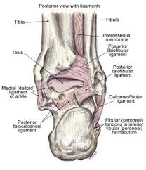 Anterior Distal Tibiofibular Ligament Ankle Joint Anatomy Overview Lateral Ligament Anatomy And