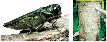 Emerald Ash Borer Map Forests Free Full Text A High Resolution Map Of Emerald Ash