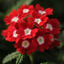 verbena flower verbena hybrida sparkling verbena