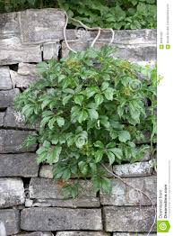 Garden Rock Wall by Vine On Rock Wall Stock Photo Image 58337292