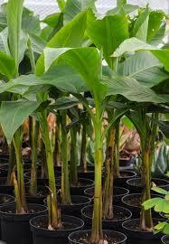 how to grow banana trees in pots corner