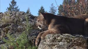 Montana wild animals images Cougar wild animal montana hd stock video 985 812 881 jpg