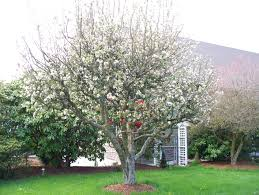 apple tree in your garden apples in your romantic garden