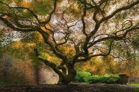 japanese maple tree photograph by david gn