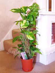 1 devil u0027s ivy golden pothos ivy arum evergreen indoor garden house