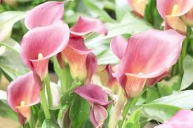 calla lily plant zantedeschia flower how to grow care indoors