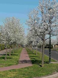 ornamental pear pyrus ussuriensis manchurian pear tree blerick