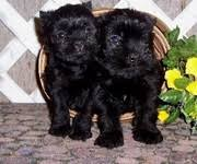 affenpinscher breeders canada dogs for sale puppies for sale canada ads canada dogs for sale