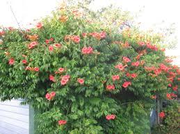 exotic flowers u0026 climbers the trees u0026 flowers of whangarei