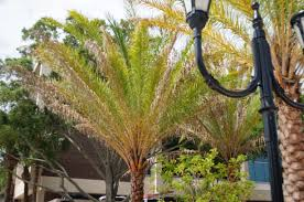 sylvester date palm tree the mystery of the browning date palms days in the of a
