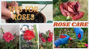 how to care rose plants hindi urdu tips and tricks all about potted roses you