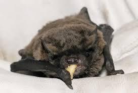 advice if you have found a bat essex bat group