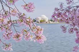 cherry blossoms and iconic sights of washington d c at