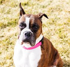 boxer dog rescue cleo boxer pet details boxer rescue of idaho petshoppro com
