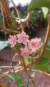 371 best hoya mania images on pinterest hoya plants flower and