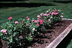 rose bed site selection and bed preparation our rose garden university