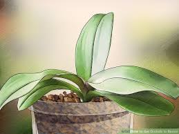 What Is An Orchid Flower - 3 ways to get orchids to bloom wikihow