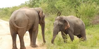 bbc earth dwarf elephant beats up big rival
