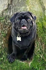 pug is a small sized breed to china pugs are