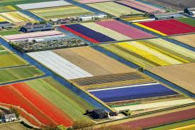 dutch tulip fields create cacophony of color nbc news